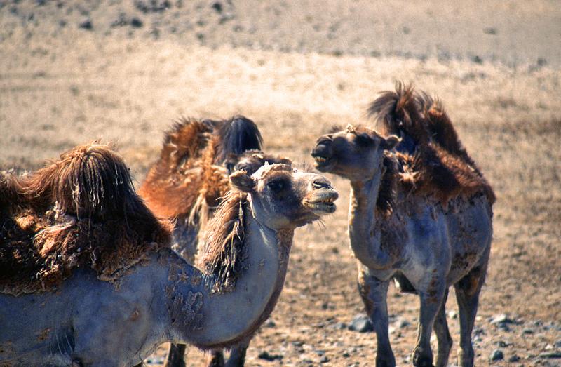 Usbekistan - Kamele am Aralsee