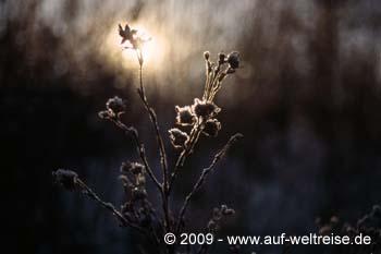 gefrorene Pflanze im Gegenlicht