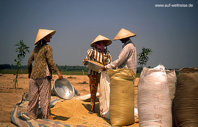Vietnam, Reis, Reisbauer, Arbeit, Asien, Südostasien, Handwerk, grün, Mekong, Bäume, Pflanze, Halong, Bucht,