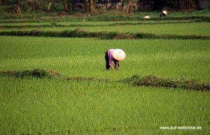Umpflanzung der Reis-Stecklinge auf den Feldern der Familie Hung (Reisfelder südlich von Hanoi)