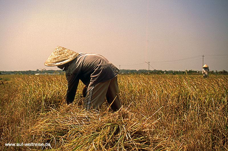 Reisernte westlich My Tho am Rande des Mekongs in Südvietnam