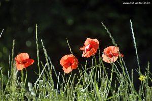 Blumen, Mohn, Gras, Gräser, Pflanzen, Sträucher, Strauch, Farn, rot, grün, schwarz, nah,