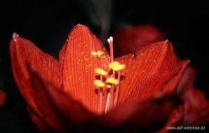 Brume, Pflanze, Blüte, blühen, Stempel, gelb, rot, Blätter, offen,