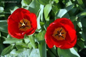 Blume, Pflanze, Blüte, blühen, Stempel, gelb, rot, Blätter, offen,