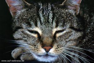Katze, Kopf, Tier, vorn, nah, Makro, grau, normal, Augen, Tiger,