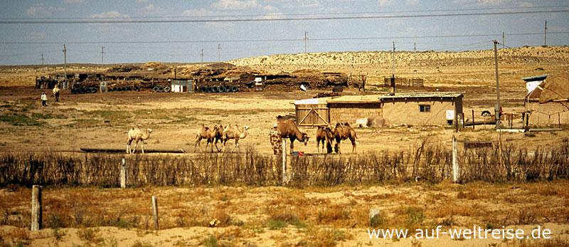 Kamel, Kasachstan, Usbekistan, Seidenstraße, Steppe, Asien, Zentralasien, Europa, Natur, Straße, Auto, Fahrzeug, unterwegs, Reisen